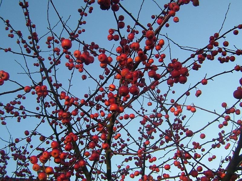 Fruits d 39 automne open time - Pommier du japon fruit ...